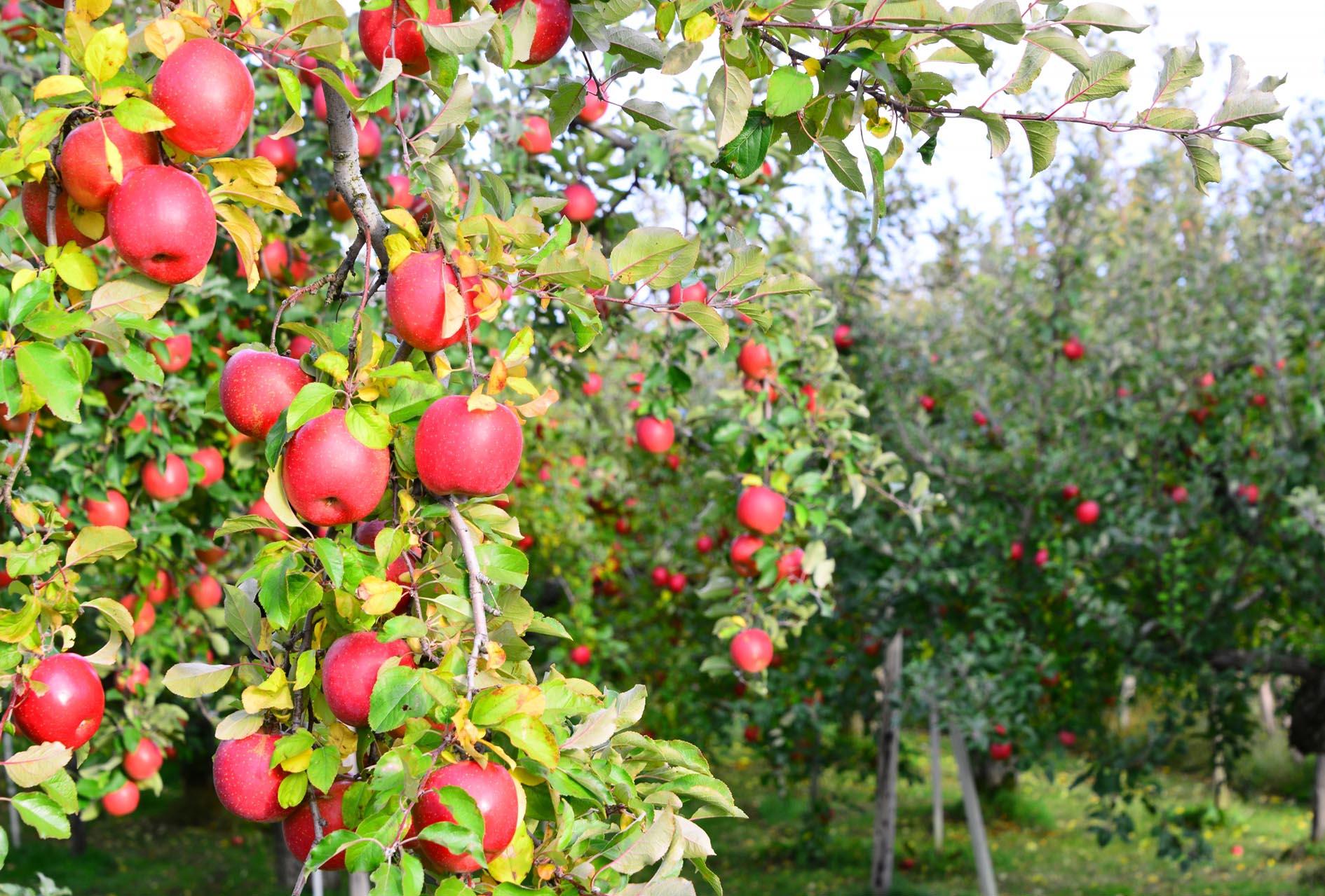 【募集終了】5.14 sun りんごの摘花&BBQプラン